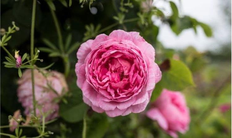 When to cut back peonies: Top tips to maintain a perfect garden