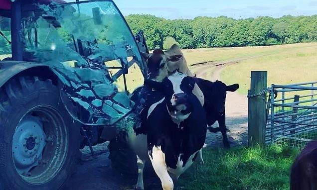 Cows smash tractor window when one tries to mount the other