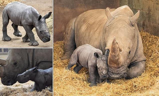Mother white rhino gives birth to rare baby at Whipsnade Zoo