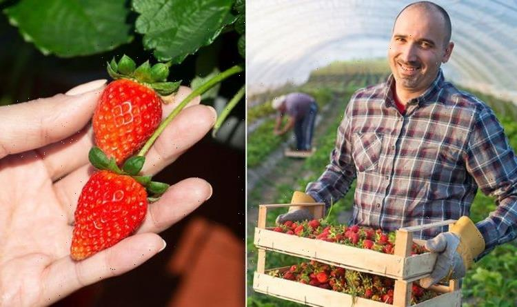 When to pick strawberries – why you should NEVER wait too long to harvest your fruit