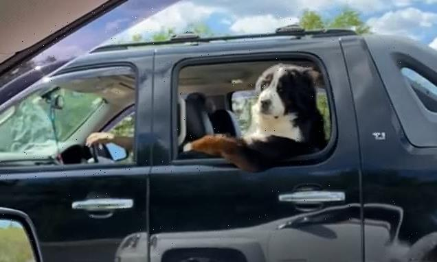 Dog sits in the back seat like a human as SUV cruises highway