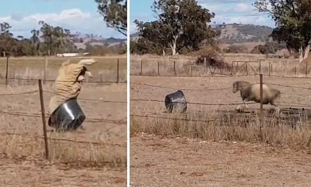 Hilarious moment angry ram repeatedly charges at bucket