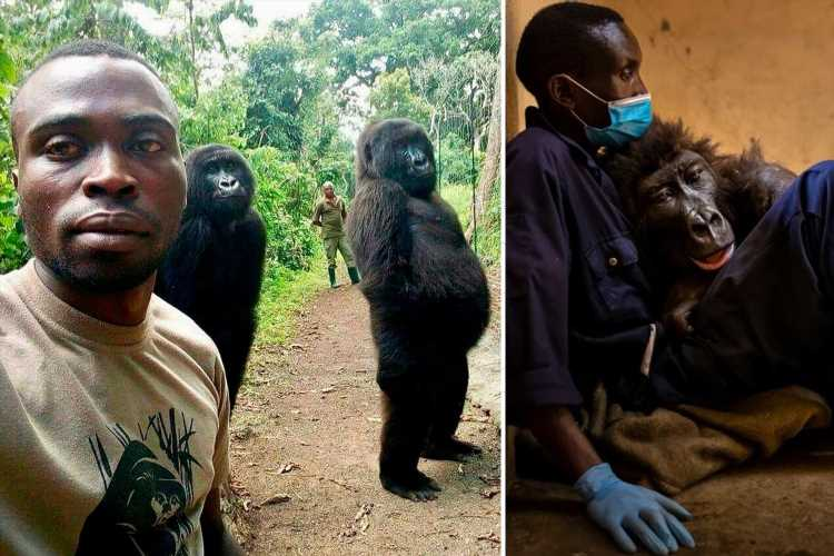 Heartbreaking moment gorilla pictured in viral selfie dies in arms of ranger who rescued her as a baby
